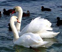 Лебеди - символ любви и преданности